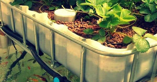 aquaponik sederhana