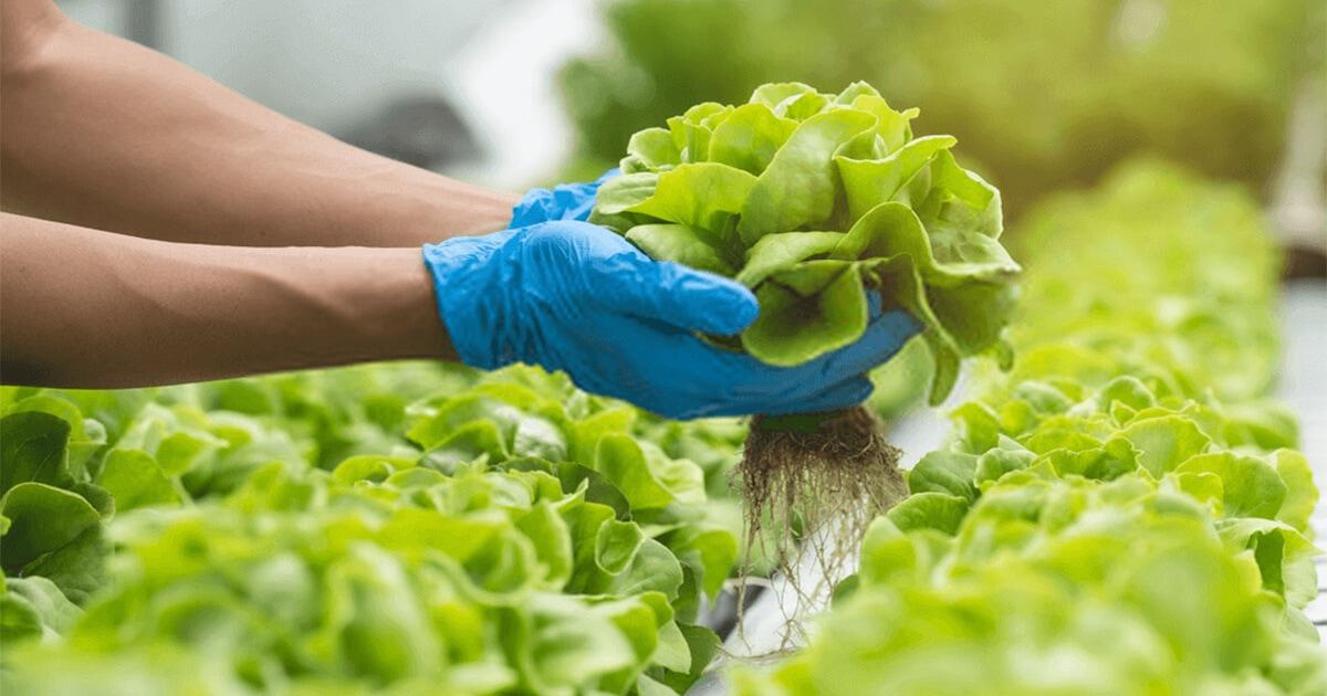 cara menanam lettuce hidroponik
